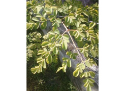 フィリピン奇跡の木「カモンガイ」
