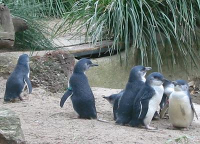 オーストラリア メルボルン動物園 ペンギン