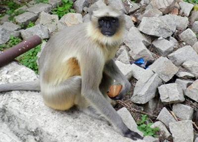 賢くて危険なインドの猿